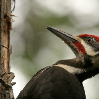 Sighted: Red Headed Pileated Woodpecker