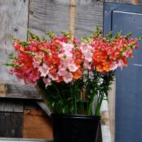 Spring annuals for the cutting garden