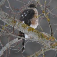 Seasonal Observations: Sharp-Shinned Hawk