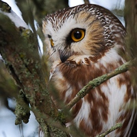 Seasonal Observations: Northern Saw-whet Owl