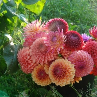 Green Thumb: Growing Dahlias