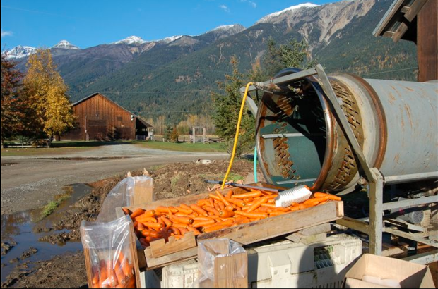 Carrot harvest at Shaw Creek Farms