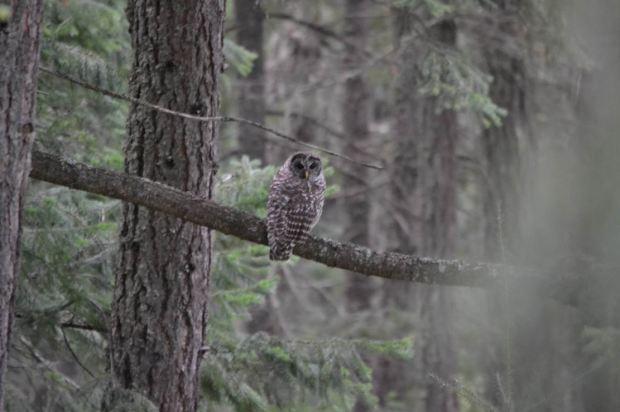 Barred Owls, Pemberton, photo by Craig Pelley