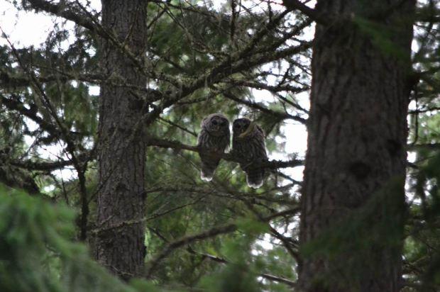 Barred Owls, Poole Creek, photo by Craig Pelley