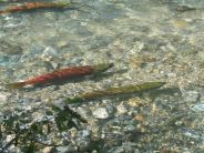 salmon-spawning-02