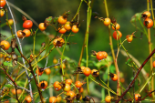Rosehips by Dave Steers