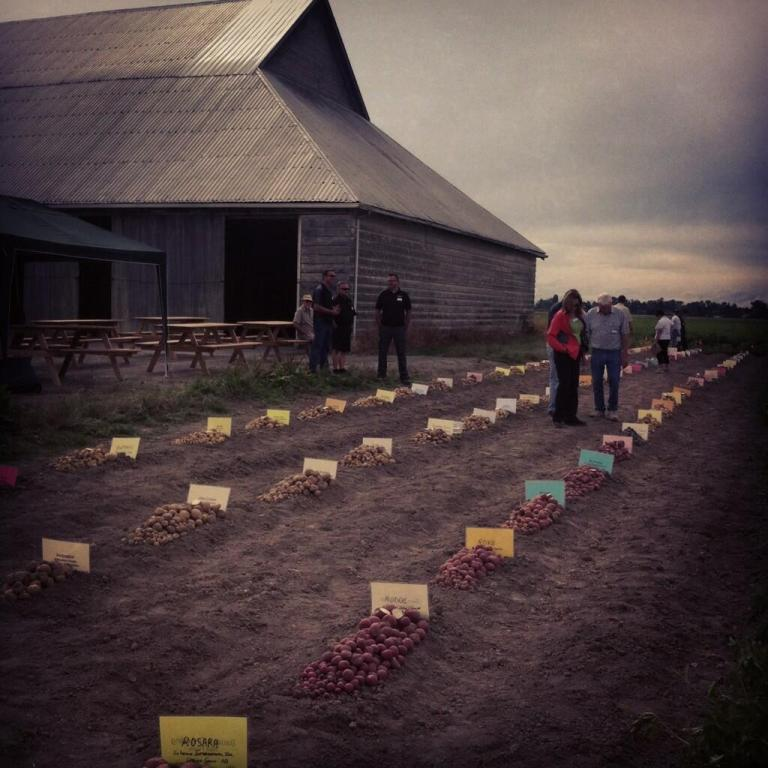 2013 Potato variety trial in Ladner, BC
