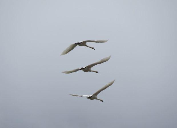 swans 005