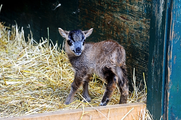 Three day old lamb, Pemberton in the spring 2014, by Dave Steers