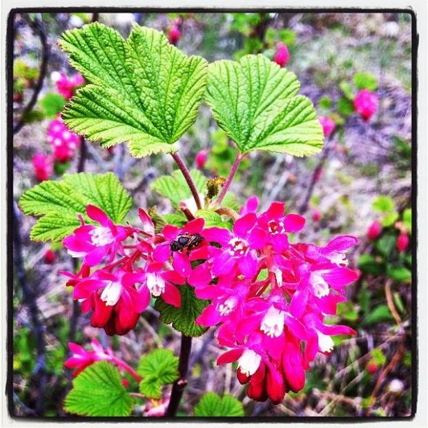 Red flowerin gcurran, one of first beefriendly plants of season, Ribes sanguineum via docleslie