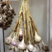 How to Cure Garlic