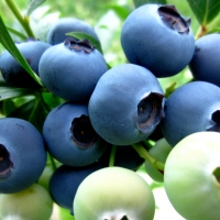 Faces of the Farmers Market:  Hare's Farm Organic Blueberries