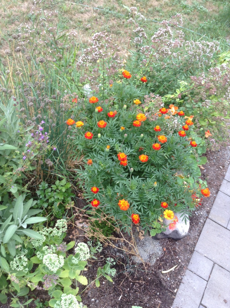 Seasonal Observations: a monster Marigold with seeds worth saving