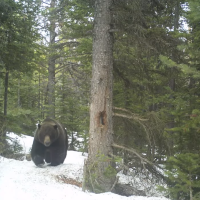 Wildlife Watch: Grizzly and friends over the Hurley Pass