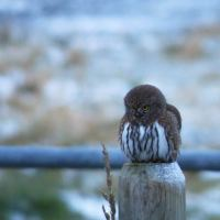 Birdwatch: Pygmy Owl kills Northern Shrike