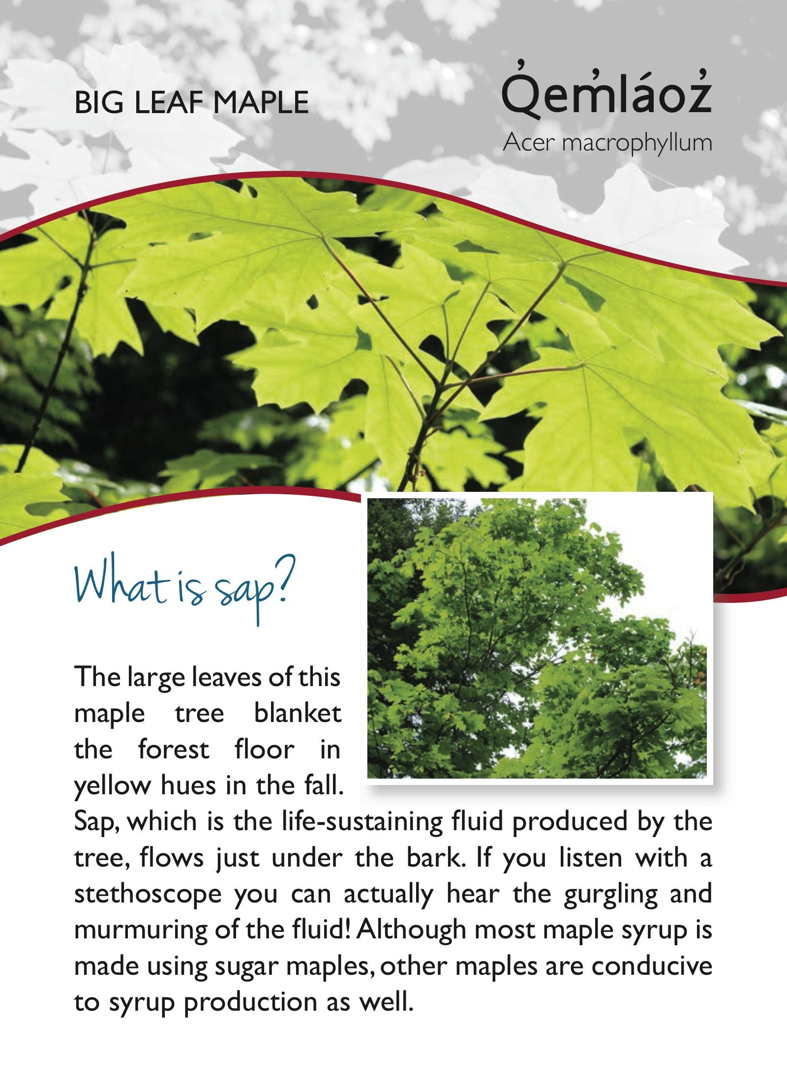 Big Leaf Maple Leaf Big Leaf Maple