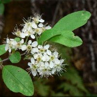 Native Plant Love: Bitter Cherry (Psosaoz)