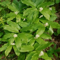Native Plant Love: False Solomon's Seal
