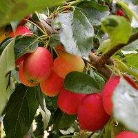 Pacific Crabapples - free for the taking and the jelly-making