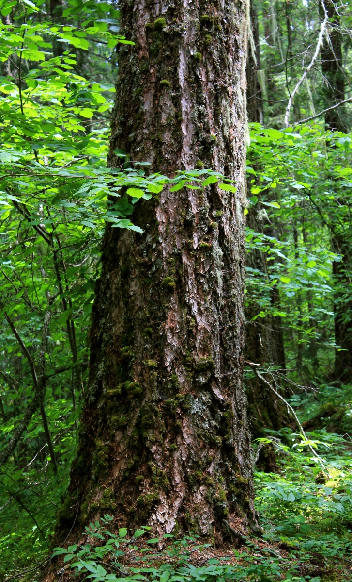Photo of the Week: Granddaddy of the Forest, the Coastal ...  Douglas Fir Forest