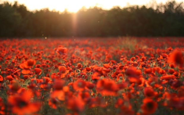 poppy-field-sunset