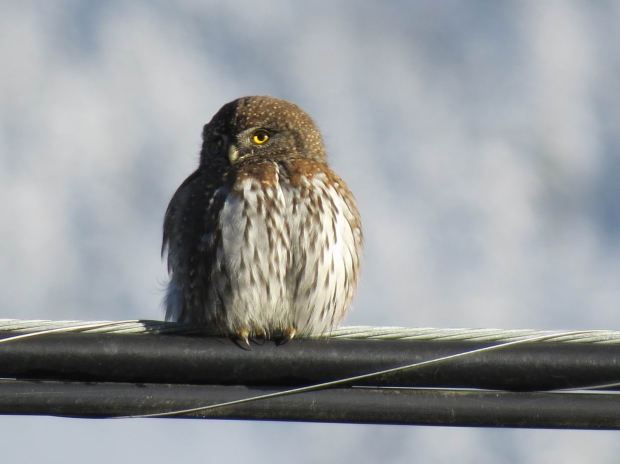 Pygmy Owl December 14 2015 by John Tschopp