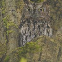 Owl lovers, volunteer surveyors are wanted to count Western Screech Owl in Pemberton