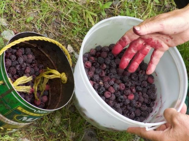 connie sobchak goes berry picking