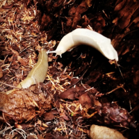 Sighted: Albino banana slugs!