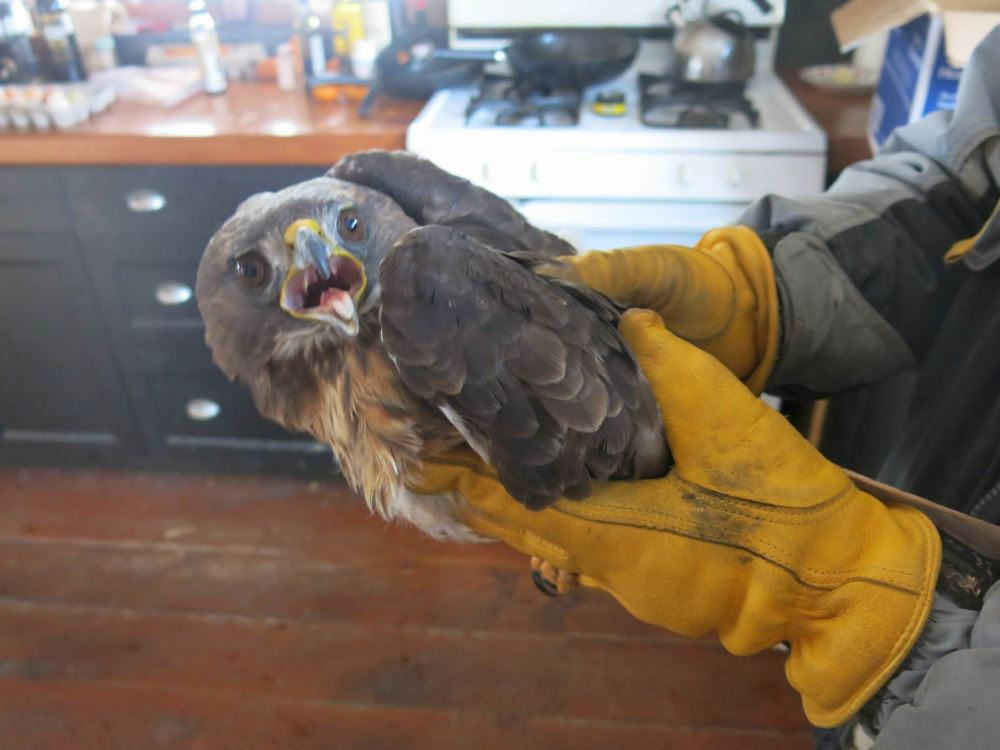 red-tailed-hawk-001