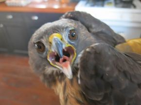red-tailed-hawk-002