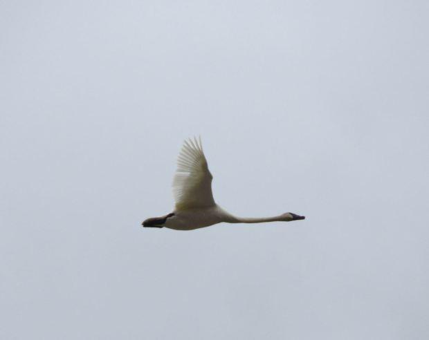 swans-004