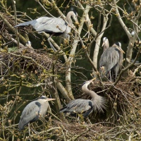 A Siege of Herons: Connie Sobchak ponders the similarities between a heronry and a shopping mall