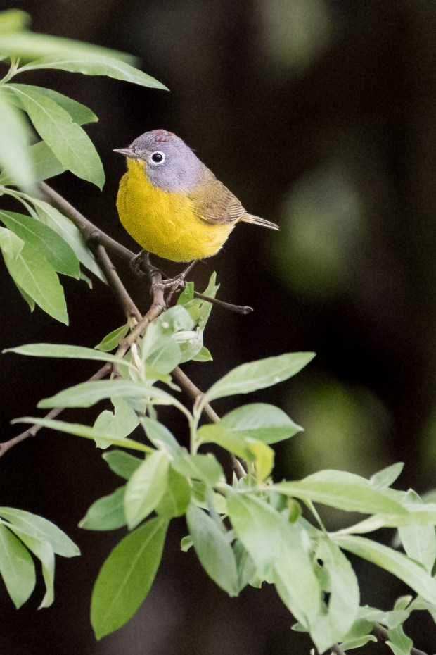 Nashville Warbler taken at Riverside Wetlands:Ském_em Community Park, Pemberton, BC.Riverside Wetlands:Ském_em Community Park, Pemberton, BC, by Marc Sole, May 12 2017