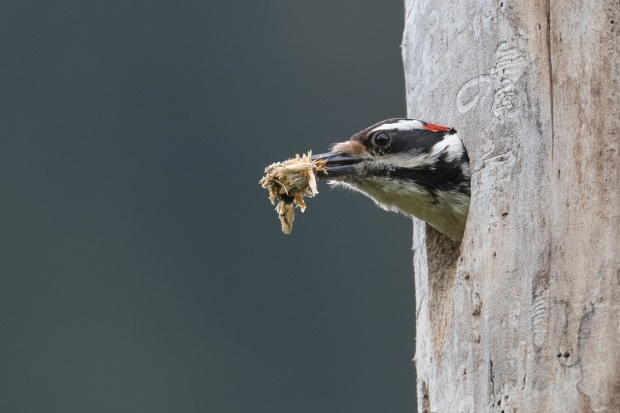 woodpecker by marc sole