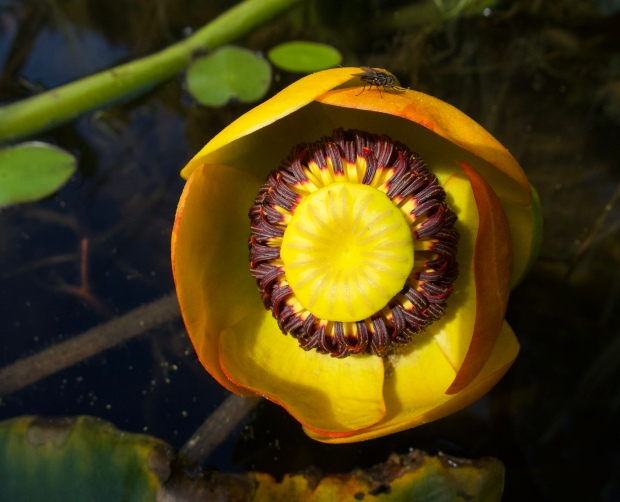 fly pollinating a yellow pond lily by connie sobchak