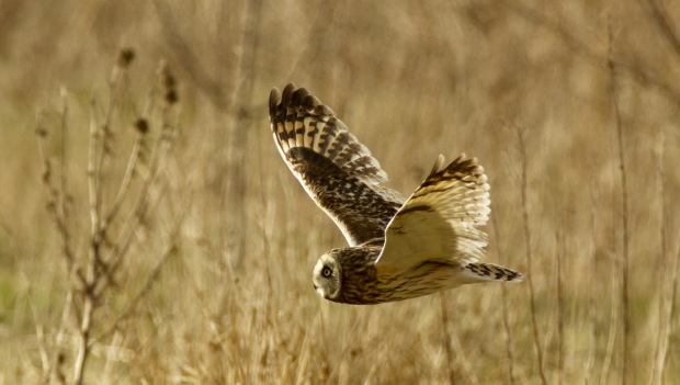 short eared owl by gary sobchak