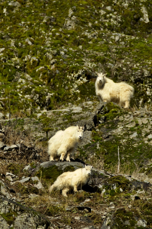 mountain goats by connie sobchak