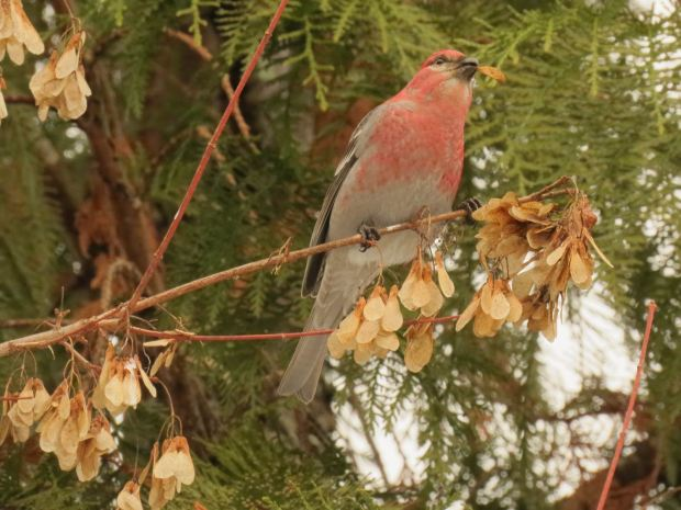 PineGB 050_pinegrosbeak by john tschopp