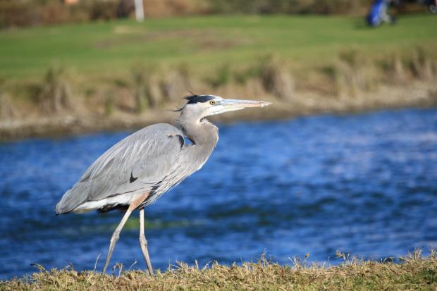 blue heron pemberton sightings wanted