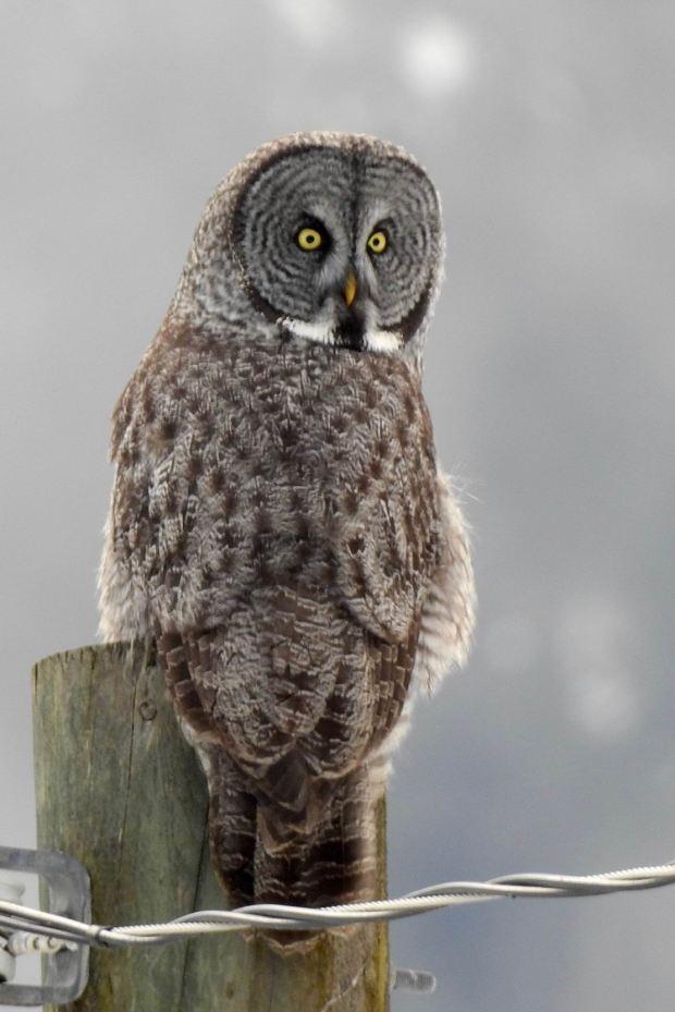 Great Grey Owl by Krista Walden