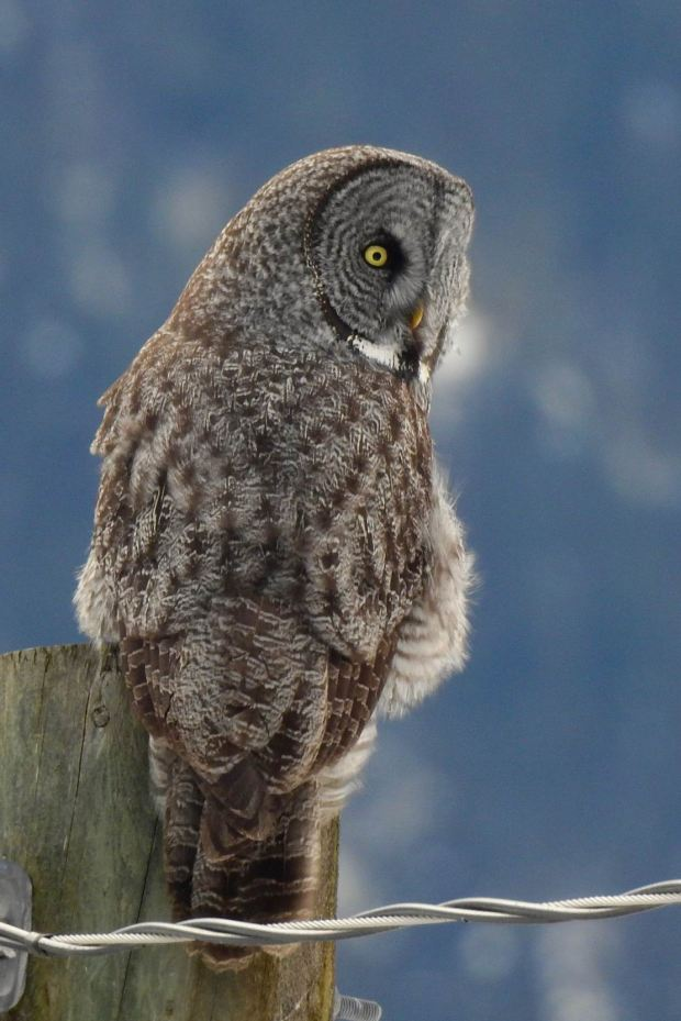 Great Grey owl photograph by Krista Walden