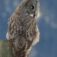 Pemberton welcomes the Great Grey Owl