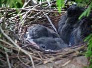 A peek into a nest of jays by Diane Zaste