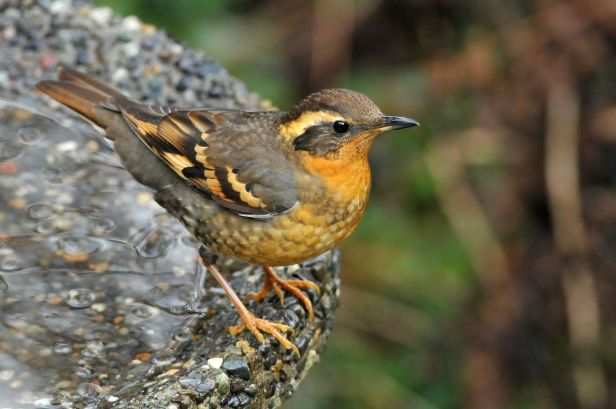 female varied thrush photo by minette layne seattle via wikipedia