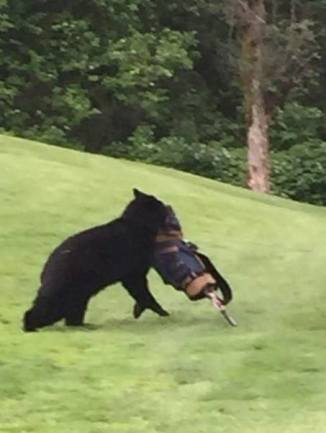 Rogue bear stealing clubs at Big Sky Photo by Diane Zaste
