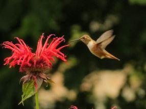 rufous hummingbird at the bee balm by John Tschopp