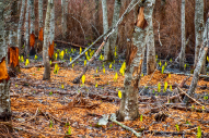 skunk cabbage by Dave Steers