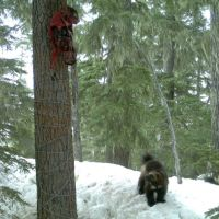 Wolverines are fond of our backyard, new study reveals
