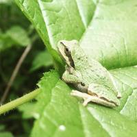 Spring Peeper aka pacific chorus frog says hello, and thanks to Veronica Woodruff for her takeover